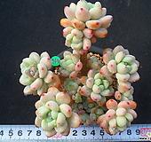 964 라울|Sedum Clavatum