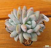후레뉴 3두자연군생|Pachyphtum cv Frevel