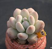 후레뉴 330116|Pachyphtum cv Frevel