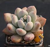 후레뉴 420116|Pachyphtum cv Frevel