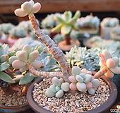 성미인|Pachyphytum oviferum
