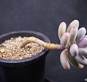 아메치스A16-5 Graptopetalum amethystinum