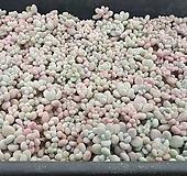 아메치스묵은둥이1판(수량체크불가)|Graptopetalum amethystinum