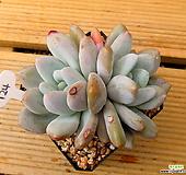 후레뉴쌍두|Pachyphtum cv Frevel