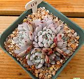 검은발톱자라고사|Echeveria mexensis Zaragosa