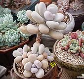 아메치스자연군생목대 3959 Graptopetalum amethystinum