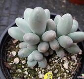 성미인군생_96|Pachyphytum oviferum