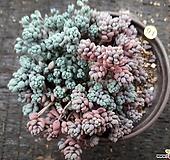 희성미인_91|Pachyphytum oviferum