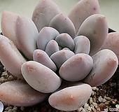 후레뉴 8101-9604|Pachyphtum cv Frevel