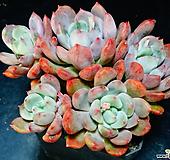 홍가시후레뉴68|Pachyphtum cv Frevel