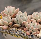 후레뉴 모듬 330118|Pachyphtum cv Frevel