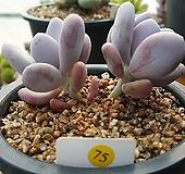 염미인|Pachyphytum oviferum