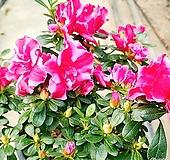 신품종철쭉(블레이즈,선녀꽃,火祭)|Crassula Americana cv.Flame