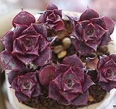 原始种罗西马桩群生一体|Echeveria longissima