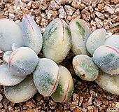 乒乓福娘锦212-!|Cotyledon orbiculata cv variegated