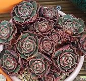 丸葉罗西马|Echeveria longissima
