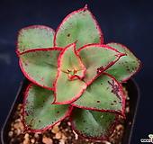 罗西马_m26|Echeveria longissima