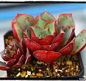 原始种罗西马群生(自然)|Echeveria longissima