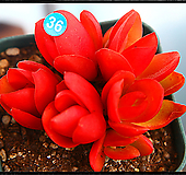 火祭|Crassula Americana cv.Flame