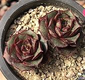 罗西马27-|Echeveria longissima