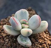 乒乓福娘锦(02141)|Cotyledon orbiculata cv variegated