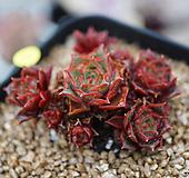 原始种罗西马自然2|Echeveria longissima