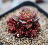 原始种罗西马自然3|Echeveria longissima