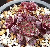 罗西马벨바라|Echeveria longissima