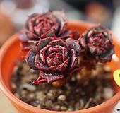 老庄桩原始种罗西马|Echeveria longissima