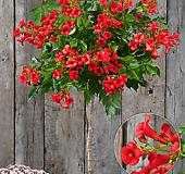 플라멩코 능소화♥강렬한 붉은 빛깔♥유럽 직수입 