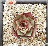 原始种罗西马|Echeveria longissima