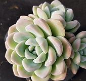 冰玉(48)老庄|Echeveria Ice green
