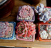 迷你合并5set花盆포함(墨西哥姬莲,冰玉,比安特,raymus,白雪女王))|Echeveria Ice green