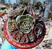 丸葉罗西马一体群生老庄|Echeveria longissima