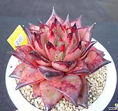 老庄纯乌木2-210|Echeveria agavoides ebony red