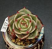 罗西马杂交-2头(2.17)|Echeveria longissima hyb