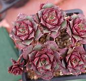 罗西马벨바라老庄桩|Echeveria longissima