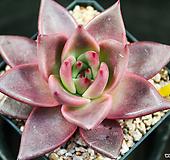 纯乌木|Echeveria agavoides ebony red