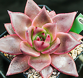 纯乌木63|Echeveria agavoides ebony red
