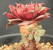 罗西马198836|Echeveria longissima