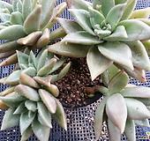 黄石莲(5头紫心一体大品)3-48 Echeveria Citrina