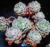 双贝瑞85|Echeveria Twin Berry