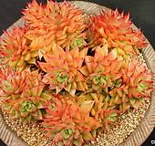 짧은잎적성 자연군생 특대품 Echeveria agavoides Akaihosi