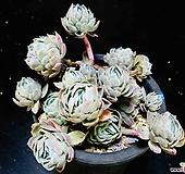 双贝瑞100|Echeveria Twin Berry