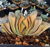 최상급 옥선금 (호반금) Haworthia truncata variegated