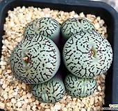 위트버젠스 Conophytum Wittebergense