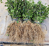 광나무 1년생 40센티 전후 100주 한셑 