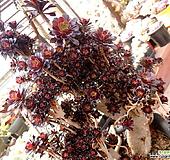 로즈흑법사철화에서 풀어진 군생 Aeonium Schwartzkopf