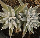 화이트그리니(314-42) Dudleya White gnoma(White greenii / White sprite)
