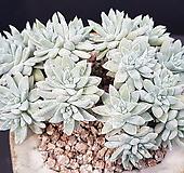 화이트그리니 자연군생 Dudleya White gnoma(White greenii / White sprite)
